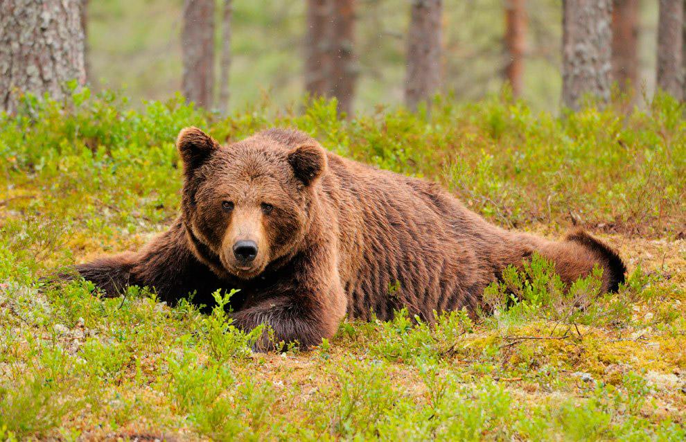 Центр реабілітації бурих ведмедів