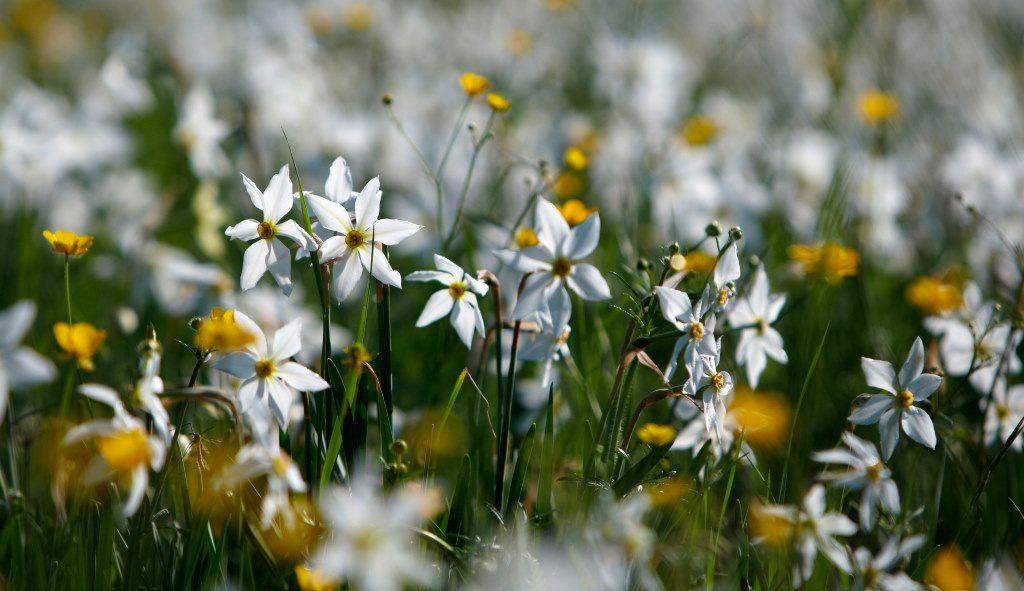 долина нарцисів коли цвітуть